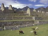 Llama and Ruins  Machu Picchu  Peru