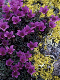 Mountain Saxifrage and Lichen  Kongakut River Valley  Arctic National Wildlife Refuge  Alaska  USA