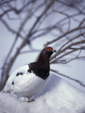 Willow Ptarmigan Perching in Willow Thicket  Denali National Park  Alaska  USA