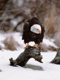 Bald Eagle Preserve  Chilkat  Alaska  USA