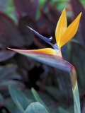 Bird of Paradise  Hawaii  USA