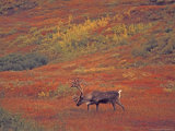 Caribou in Autumn Tundra of Denali National Park  Alaska  USA