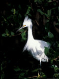 Snowy Egret at Ding Darling National Wildlife Refuge  Sanibel Island  Florida  USA