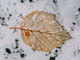 Leaf on Root Glacier in St Elias National Park  Alaska  USA