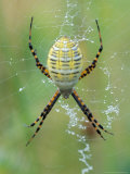 Garden Spider in Web  Grose Property at Fortunes Rocks  Biddeford  Maine  USA