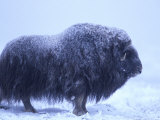 Muskox in Arctic Coastal Plain  Alaska  USA