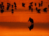 Roseate Spoonbill on Tidal Flats  Ding Darling National Wildlife Refuge  Florida  USA