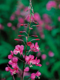 Fireweed in Denalia National Park  Alaska  USA