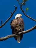 Adult Bald Eagle Perched in White Pine Above Katahdin Lake  Maine  USA