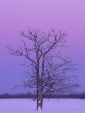Two Trunked Tree at Sunrise  Chippewa County  Michigan  USA