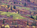 Autumn Colors along the Old Denali Highway  near Paxson  Alaska  USA