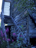 Fireweed Adorns an Old Homestead Entrance  McCarthy  Alaska  USA