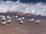 Cape Canaveral Royal Terns  Florida  USA