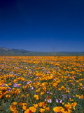Poppies and Gilia Purple  Antelope Valley  California  USA