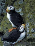 Horned Puffins near Nest Tunnels  Pribilofs  St Paul Island  Alaska  USA
