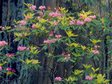 Redwood Trees and Rhodies in Bloom  Redwoods National Park  California  USA