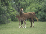 Arabian Mare and Colt  Oldham County  Kentucky  USA
