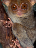 Tarsier  Philippines