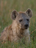 Spotted Hyena  Mombo Area  Chief&#39;s Island  Okavango Delta  Botswana