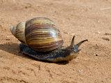 Giant African Land Snail  Tanzania