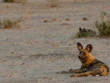 Wild Dog or Painted Wolf  Savuti Channel  Linyanti Region  Botswana