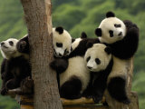 Giant Panda Babies  Wolong China Conservation and Research Center for the Giant Panda  China