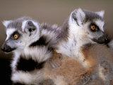 Ring-tailed Lemurs  Berenty Private Reserve  Madagascar