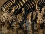 Burchell's Zebra  Mombo Area of Chief's Island  Okavango Delta  Botswana