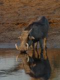 Warthog, Savuti Channal, Botswana Papier Photo par Pete Oxford