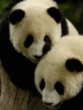Giant Panda Family  Wolong China Conservation and Research Center for the Giant Panda  China