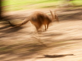 Grey Kangaroo  Australia