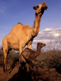 Dromedary Camel  Mother and Baby  Nanyuki  Kenya