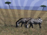 Zebra on the Serengeti  Kenya