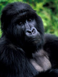 Mountain Gorilla  Virunga Volcanoes National Park  Rwanda