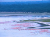 Flocks of Lesser Flamingos  Lake Nakuru  Kenya