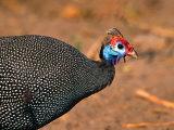 Helmeted Guinea Fowl  Kenya