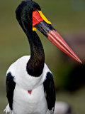 Saddle-Billed Stork Portrait  Tanzania