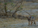Side-striped Jackal Pup  Mombo Area  Chief&#39;s Island  Okavango Delta  Botswana