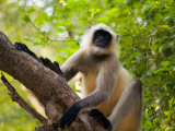 Monkey in Jungle of Ranthambore National Park  Rajasthan  India