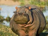 Hippopotamus  Tanzania