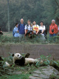 Panda Eating in Giant Panda Sanctuary  Chengdu  China