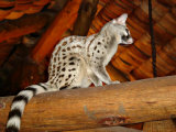Common Genet in the Ndutu Lodge  Tanzania