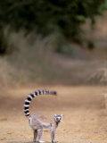 Ring-tailed Lemur  Berenty Reserve  Madagascar