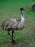 Emu Portrait  Australia