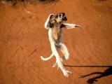 Verreaux's Sifaka  Berenty  Madagascar