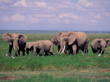 African Elephant Herd and Cattle Egrets  Amboseli National Park  Kenya