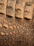 Detail of Crocodile Skin  Australia