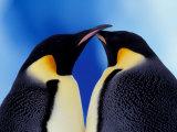 Emperor Penguin Pair  Antarctica