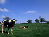 Farmland with Cows near Dublin  Ireland