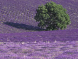 Lavender Fields  Sault  Provence  France